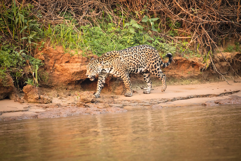 We jokingly wondered how long it took to train these jaguars to walk along the river for us tourists to see them.