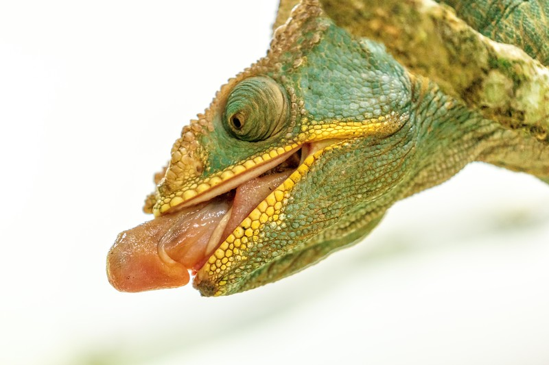 Here's a closeup of another chameleon beginning to project her tongue.