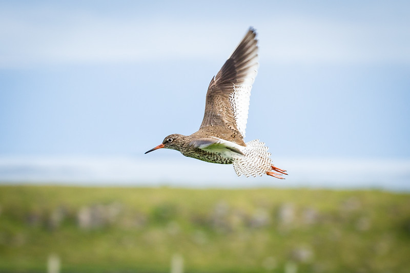 Red shank