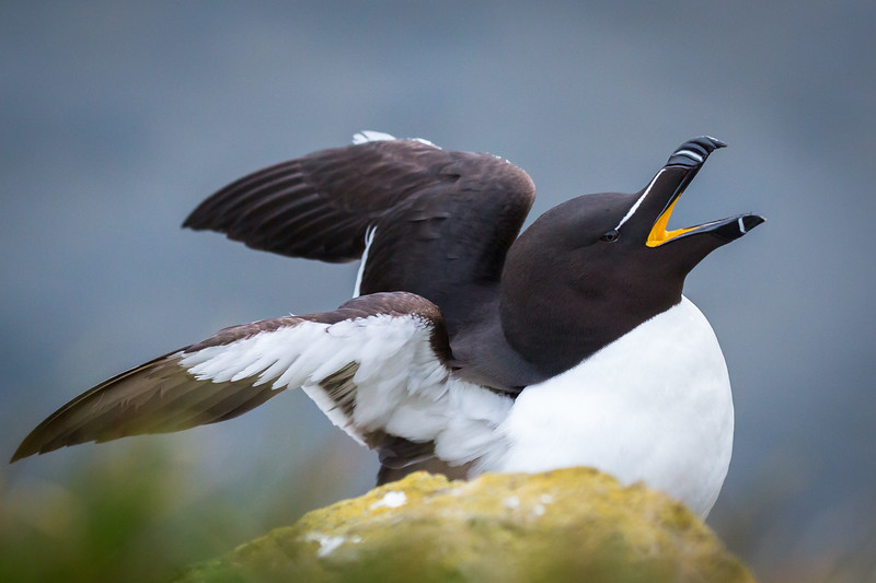 Foxommon Guillemot