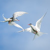 Arctic terns fighting in mid air (not easy to photograph)