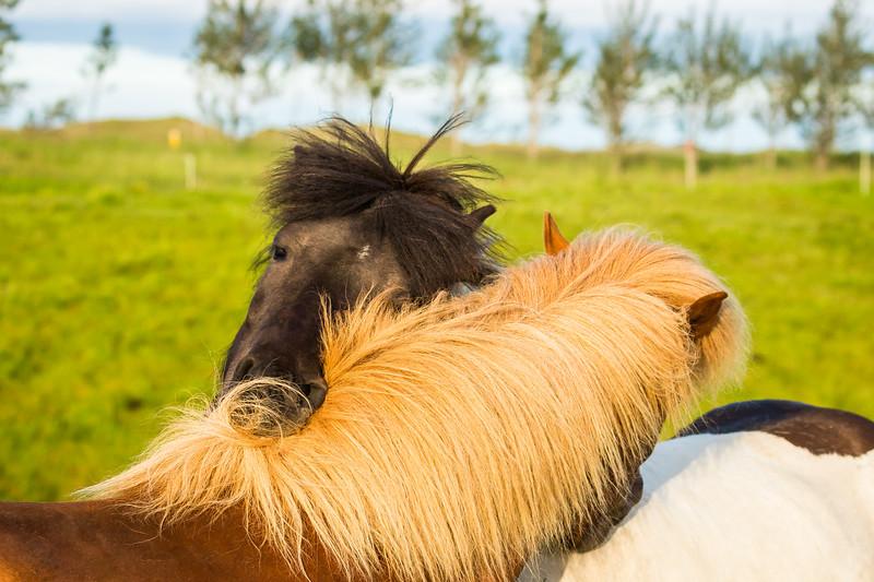 Smooching horses