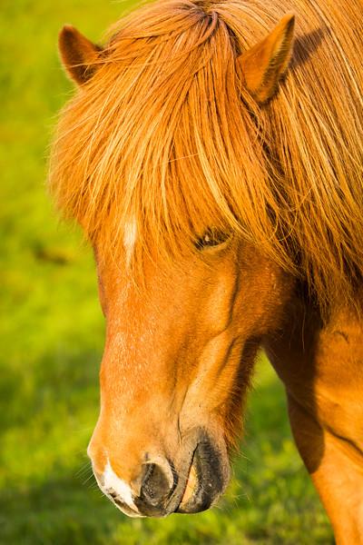 Icelanders love their horses