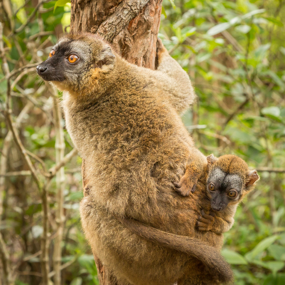 Red-fronted brown lemur with her young one grasping on.