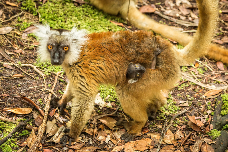 Hybrid lemur with a young one neatly tucked in