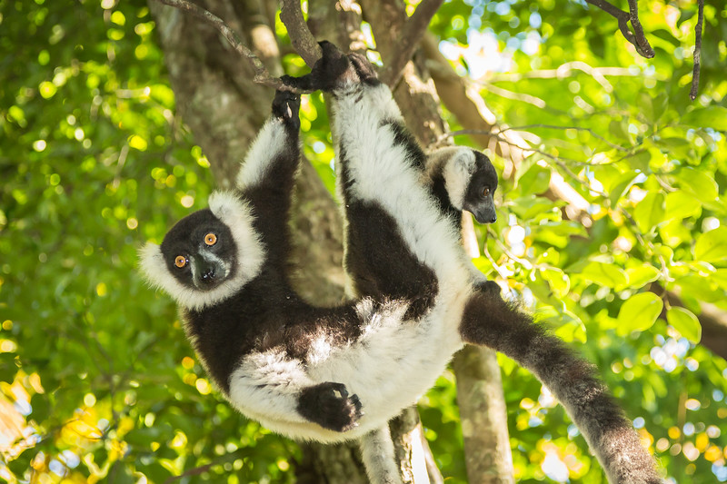 Black and white ruffed lemurs just hanging out