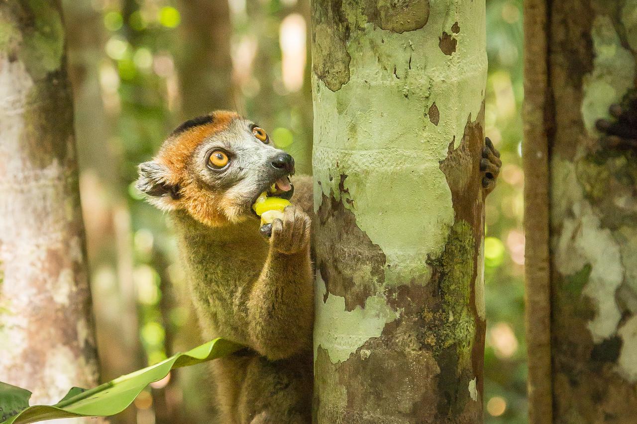 Crowned male lemur snacking