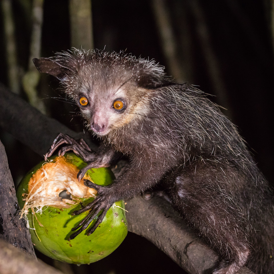 Another evening we went in pursuit of the scarce aye-aye lemur.  Not the most attractive lemur.