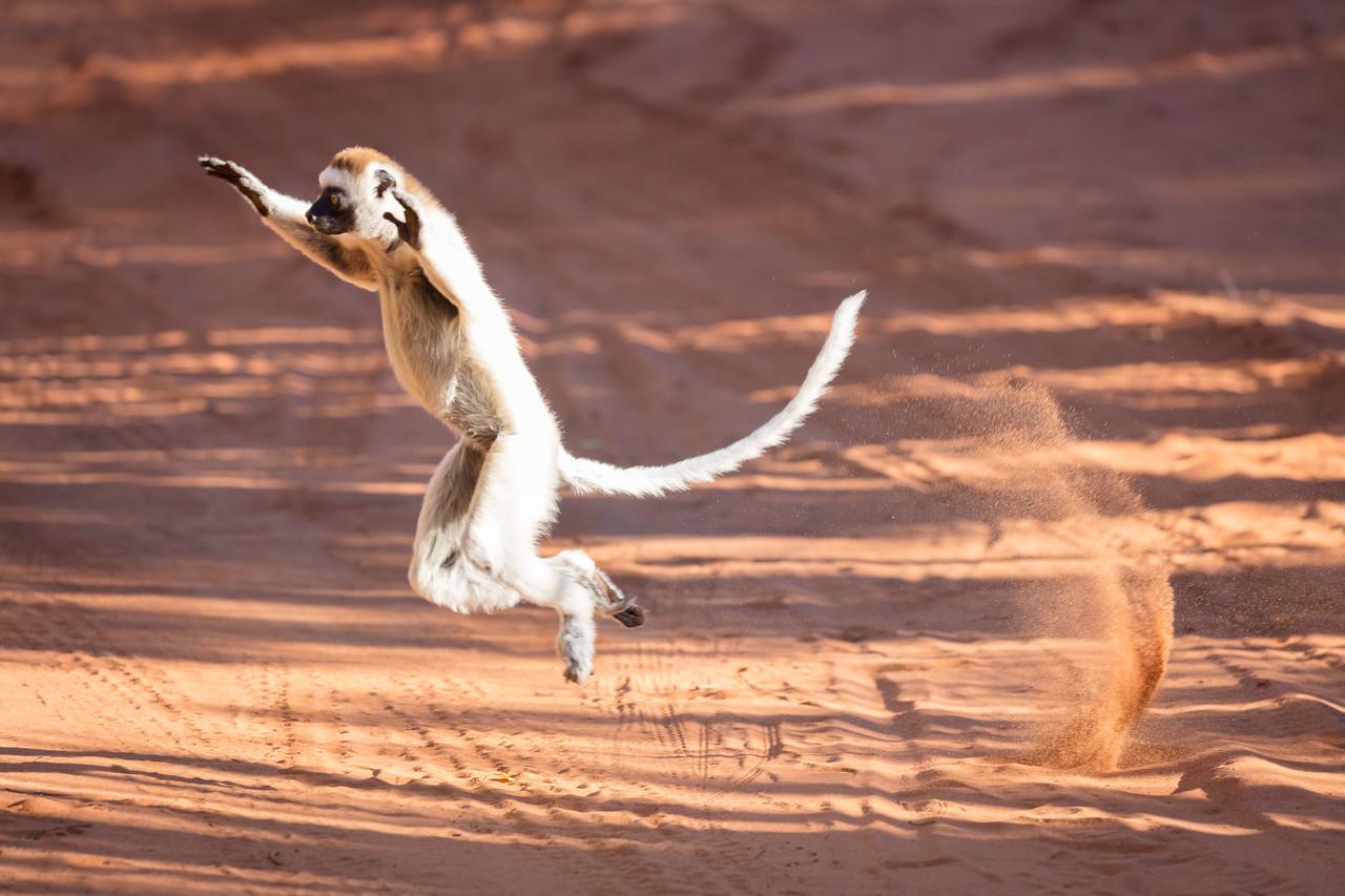 Vereaux  sifaka lemur leaping across the road