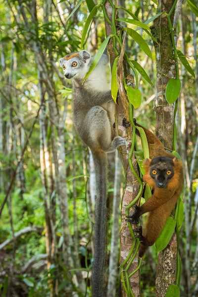 Light colored lemur is a female crowned lemur and the dark one is a hybrid lemur