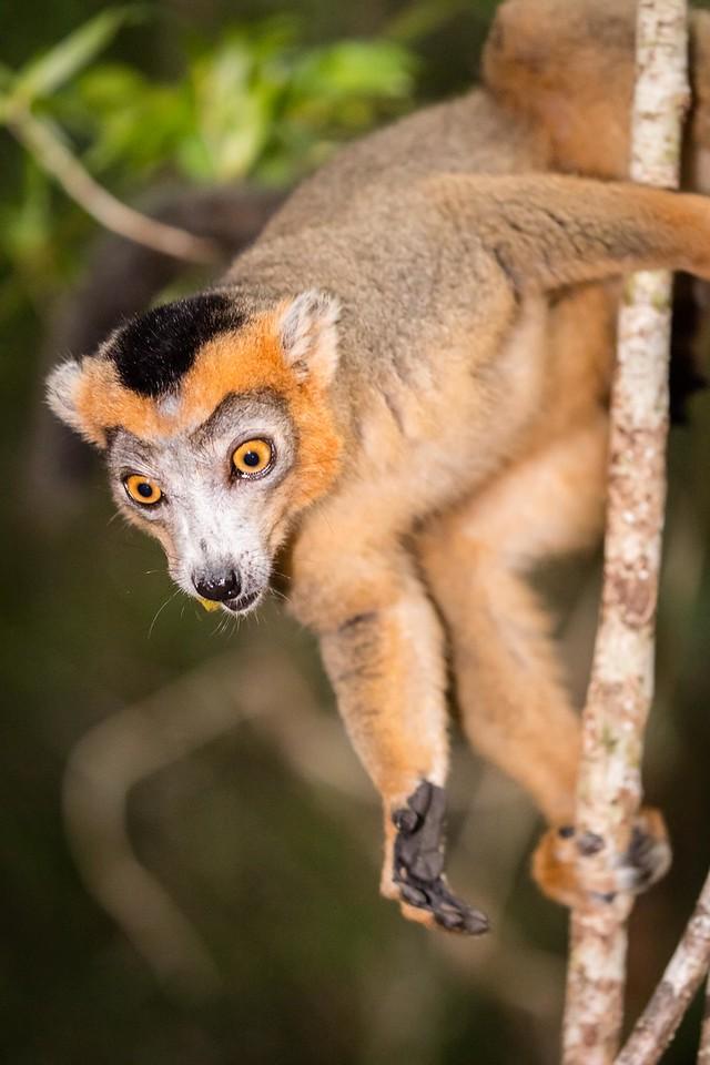 Crowned male lemur