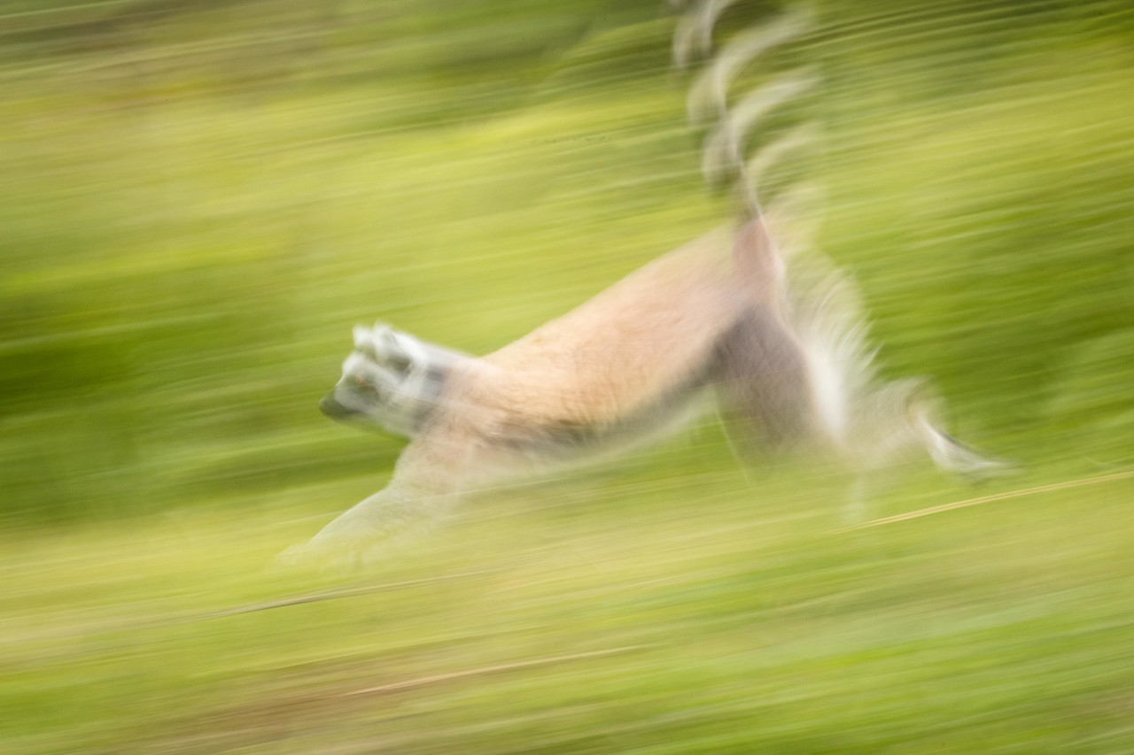 Streaking ring-tailed lemur