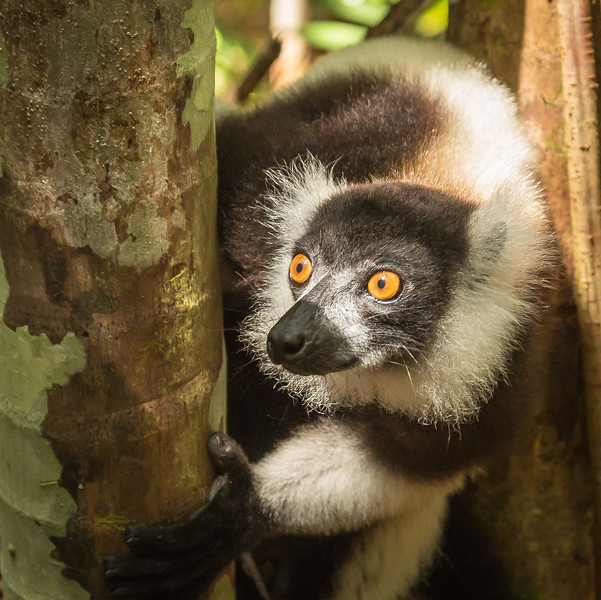 Black and white ruffed lemur looking for her mate