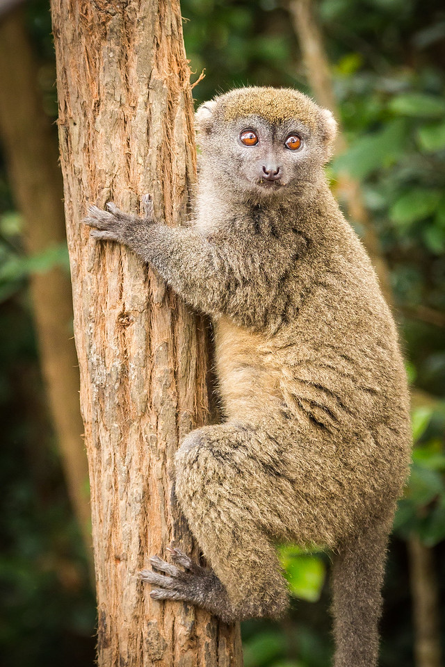 This is the eastern lesser grey bamboo lemur. Thought you would want to know.