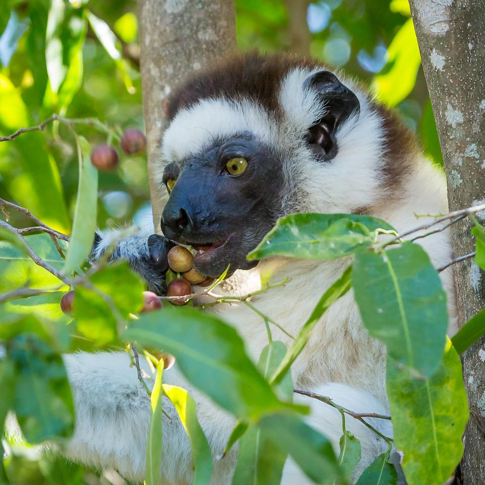 Vereaux  sifaka lemur eating berries