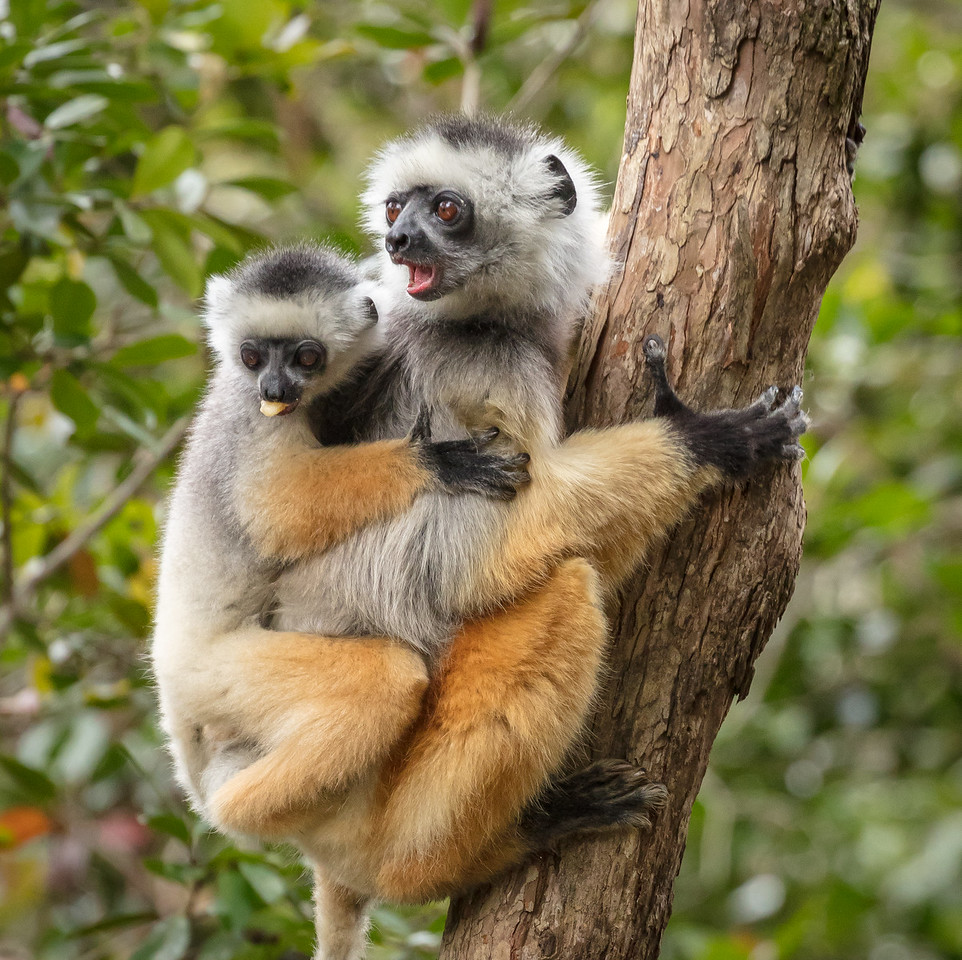 Diademed sifaka lemur and young looking at other lemurs coming their way
