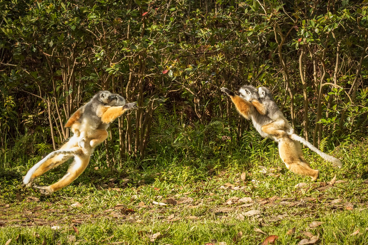 Diademed sifaka lemurs charging toward each other