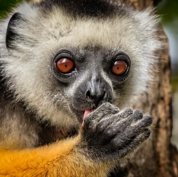 Diademed sifaka lemurs