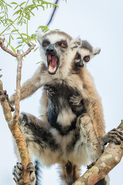 Ring-tailed lemur with young one on his back