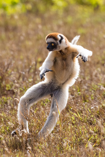 Vereaux  sifaka lemur traveling through a field by the unique sideway leaps