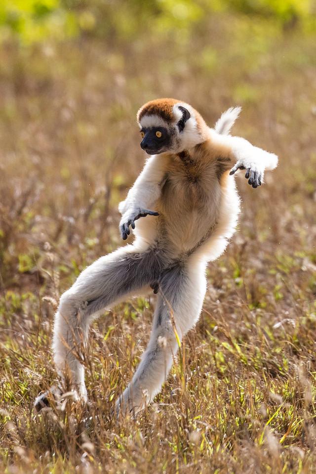 Vereaux  sifaka lemur traveling through a field by the unique sideway leaps