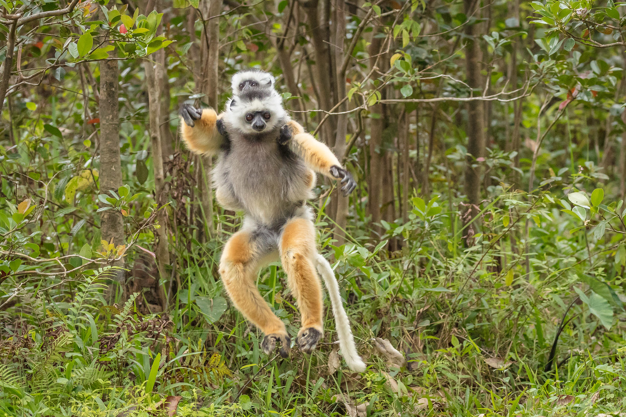 Diademed sifaka lemur and young leaping toward us.
