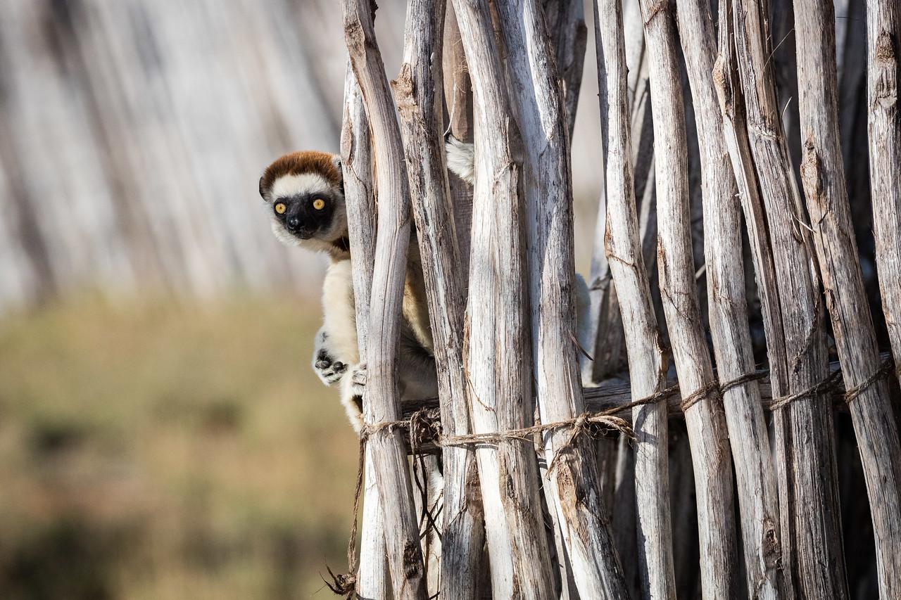 Vereaux  sifaka lemur playing peek-a-boo