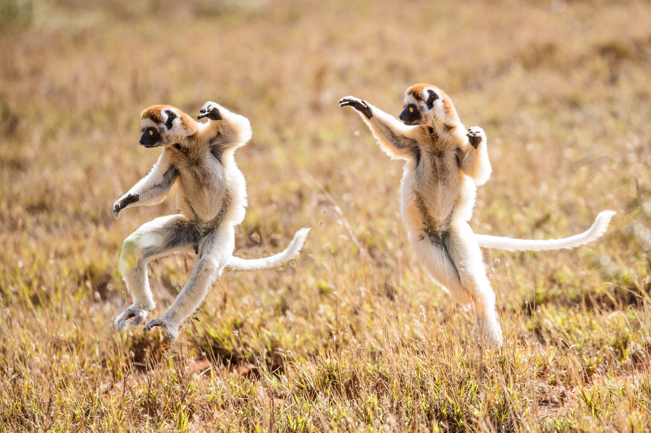 Vereaux  sifaka lemurs
