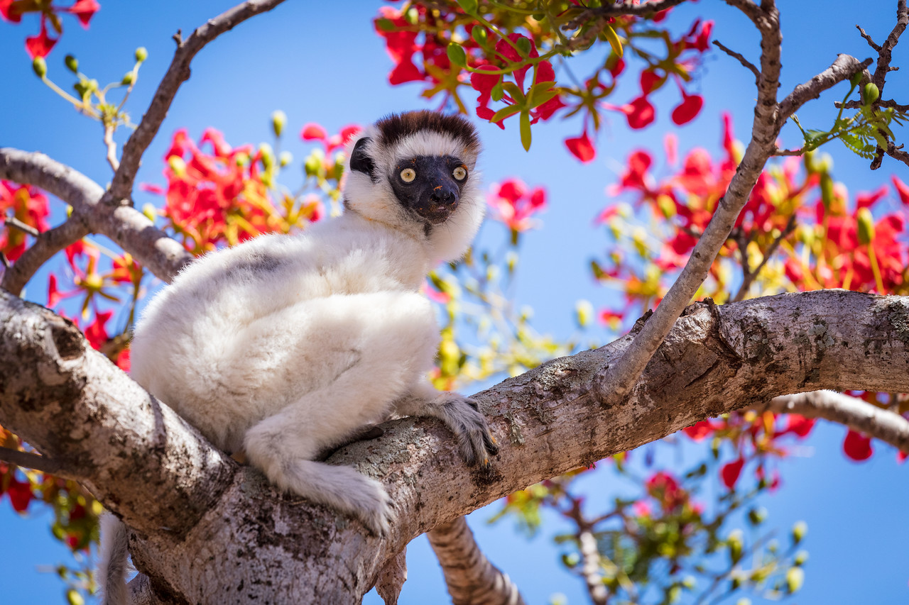 Vereaux  sifaka lemur eating the blossoms of a flame tree