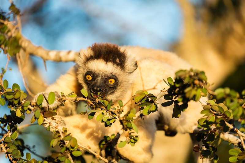 Vereaux  sifaka lemur eating leaves just before sunset