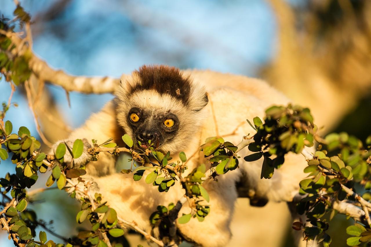 Vereaux  sifaka lemur eating leaves just before sunset