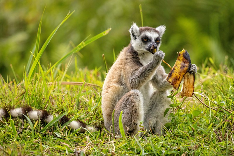 Ring-tailed lemur eating a banana