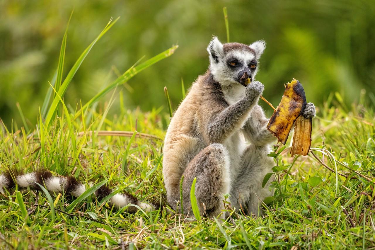 Ring-tailed lemur eating a banana