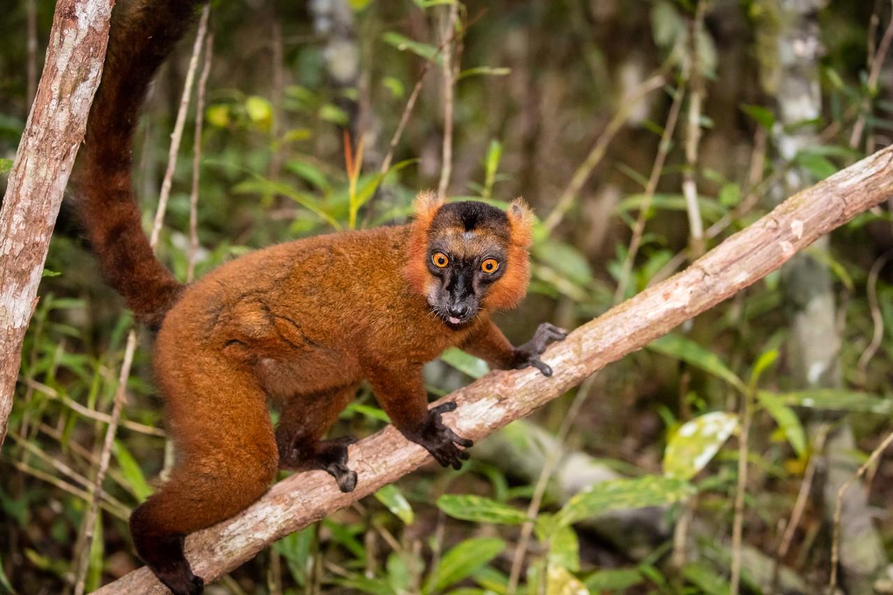A hybrid lemur