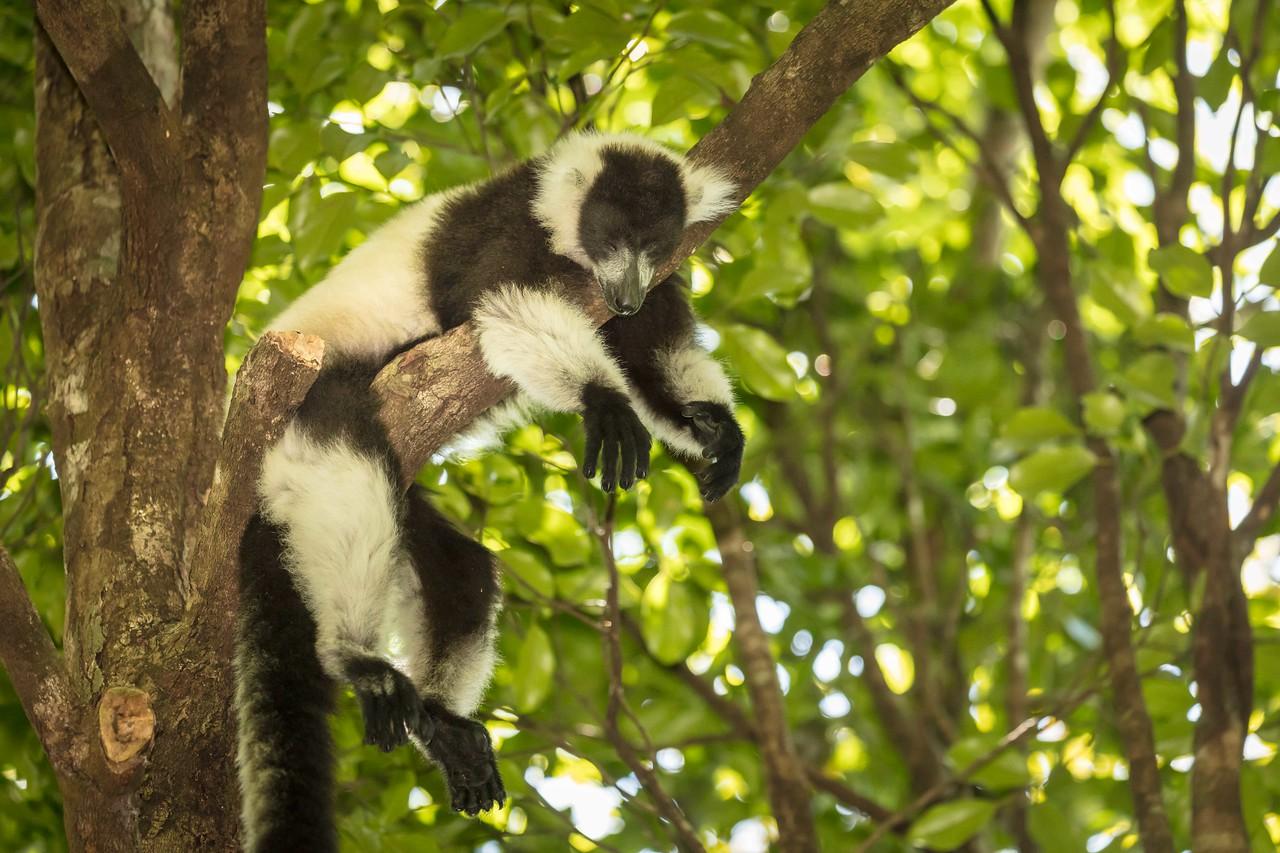 Black and white ruffed lemur snoozing