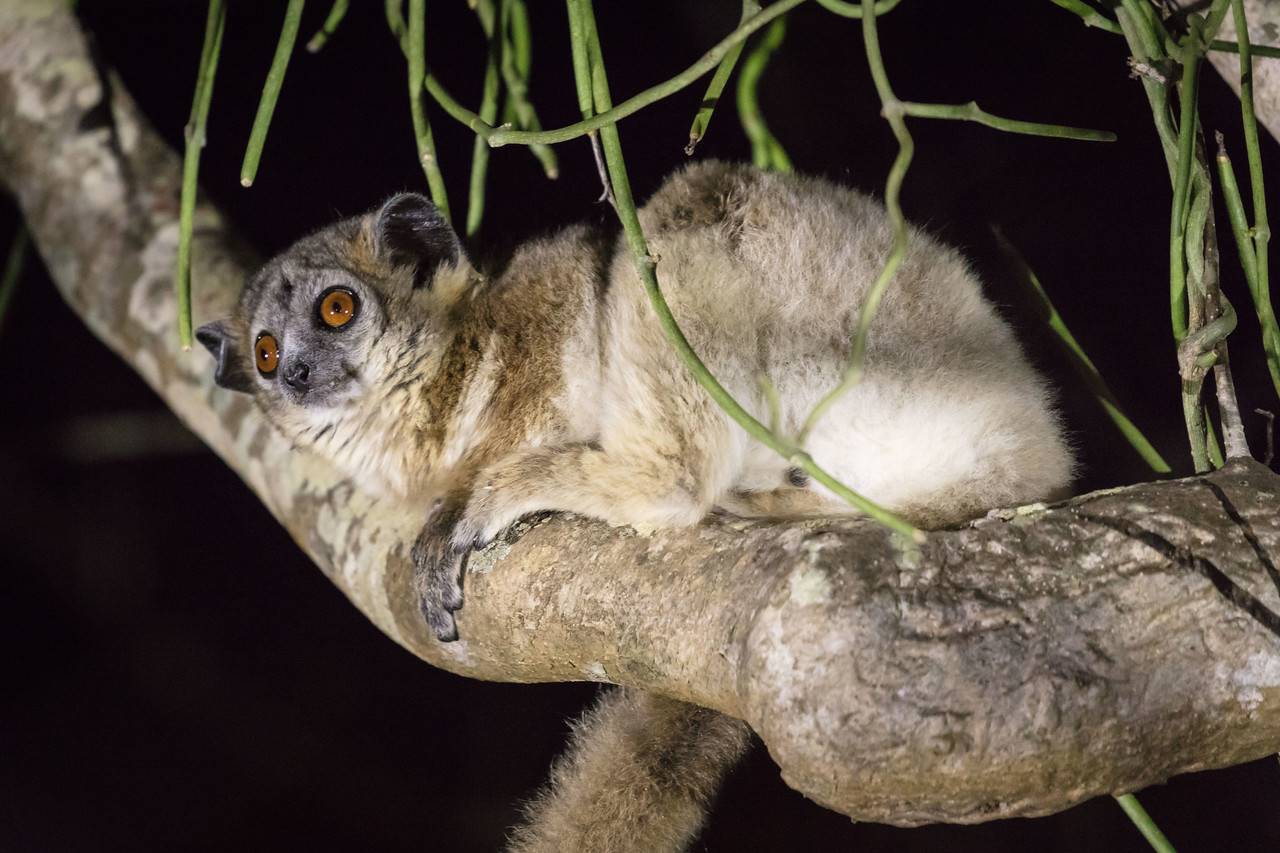 We went trekking through the forest one evening to find this white-footed sportive lemur high in a tree