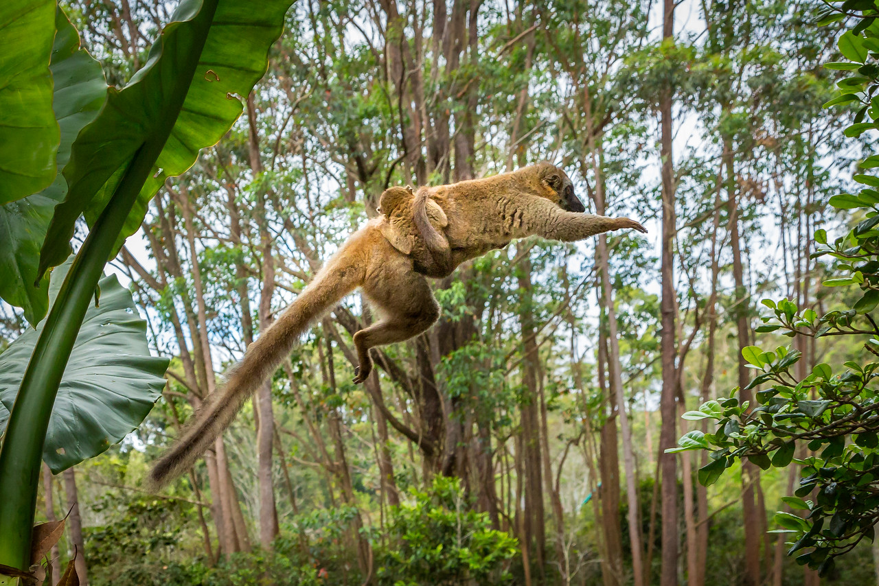 Red-fronted brown lemur with her young leaping from tree to tree.
