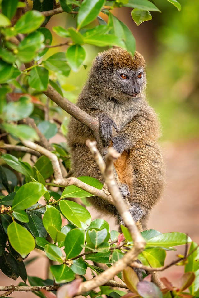 Eastern lesser grey bamboo lemur
