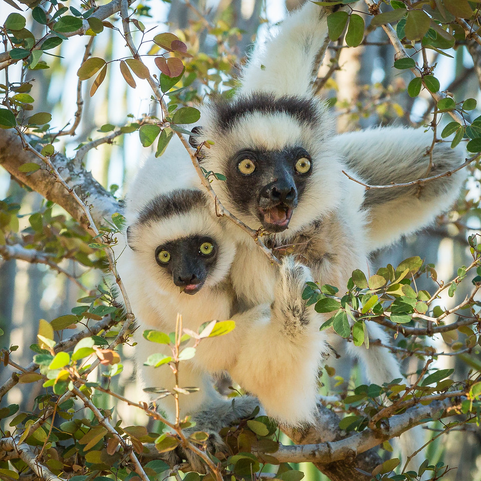 Vereaux  sifaka lemur mother and child