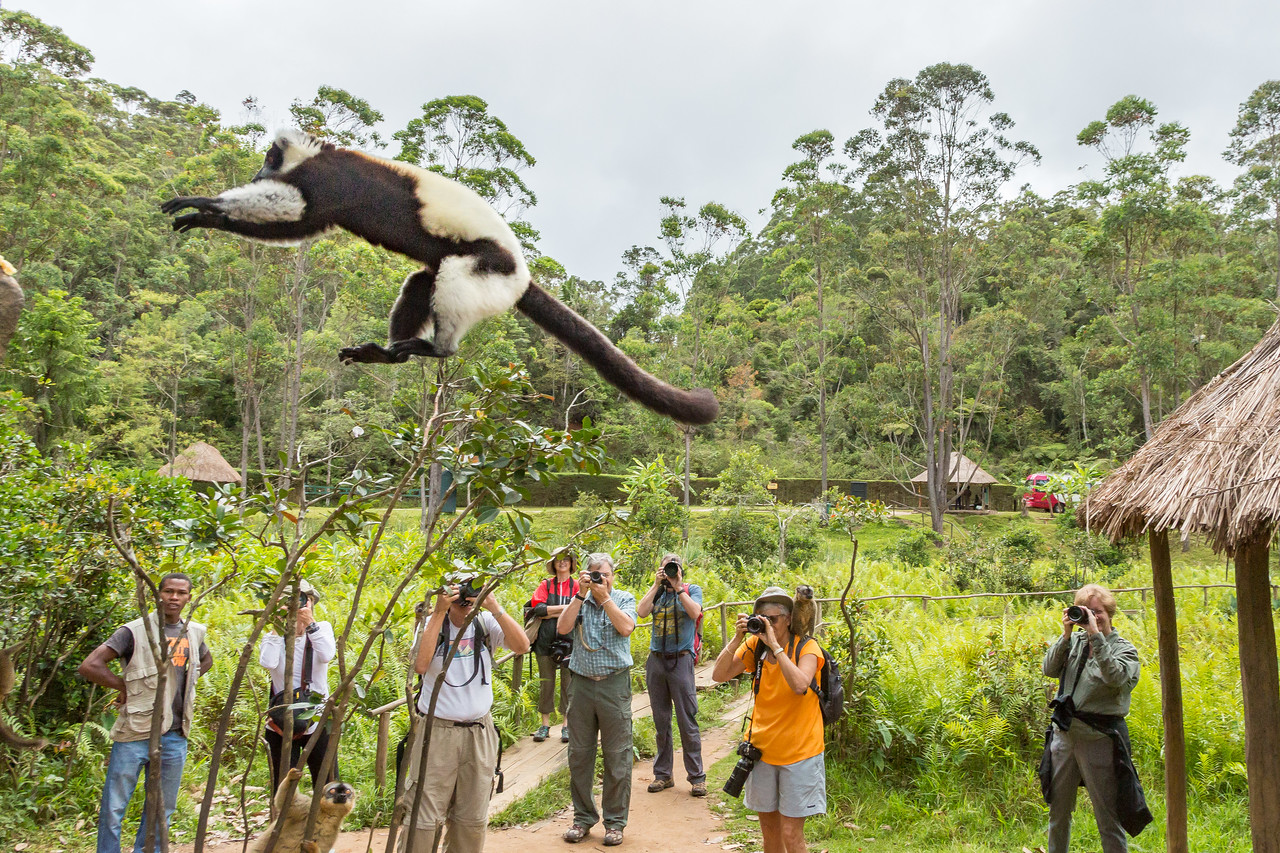 Black and white ruffed lemur leaping from the thatched roof to a tree with our photo team shooting in the background. Note Julie in orange had assistance.