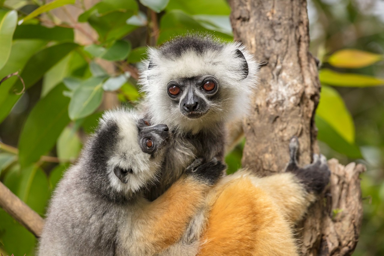 A tender moment for this diademed sifaka lemur mother and child