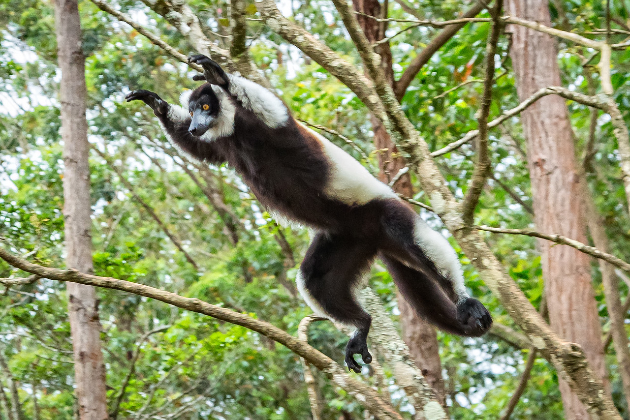 Black and white ruffed lemur leaping from ttree to tree.