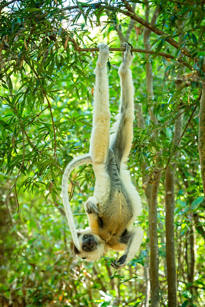 Vereaux  sifaka lemur defying gravity