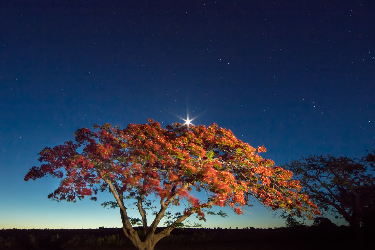 We hiked to this colorful flame tree to photograph it at dusk. We lit the tree with a flash light. The star above is actually the moon.