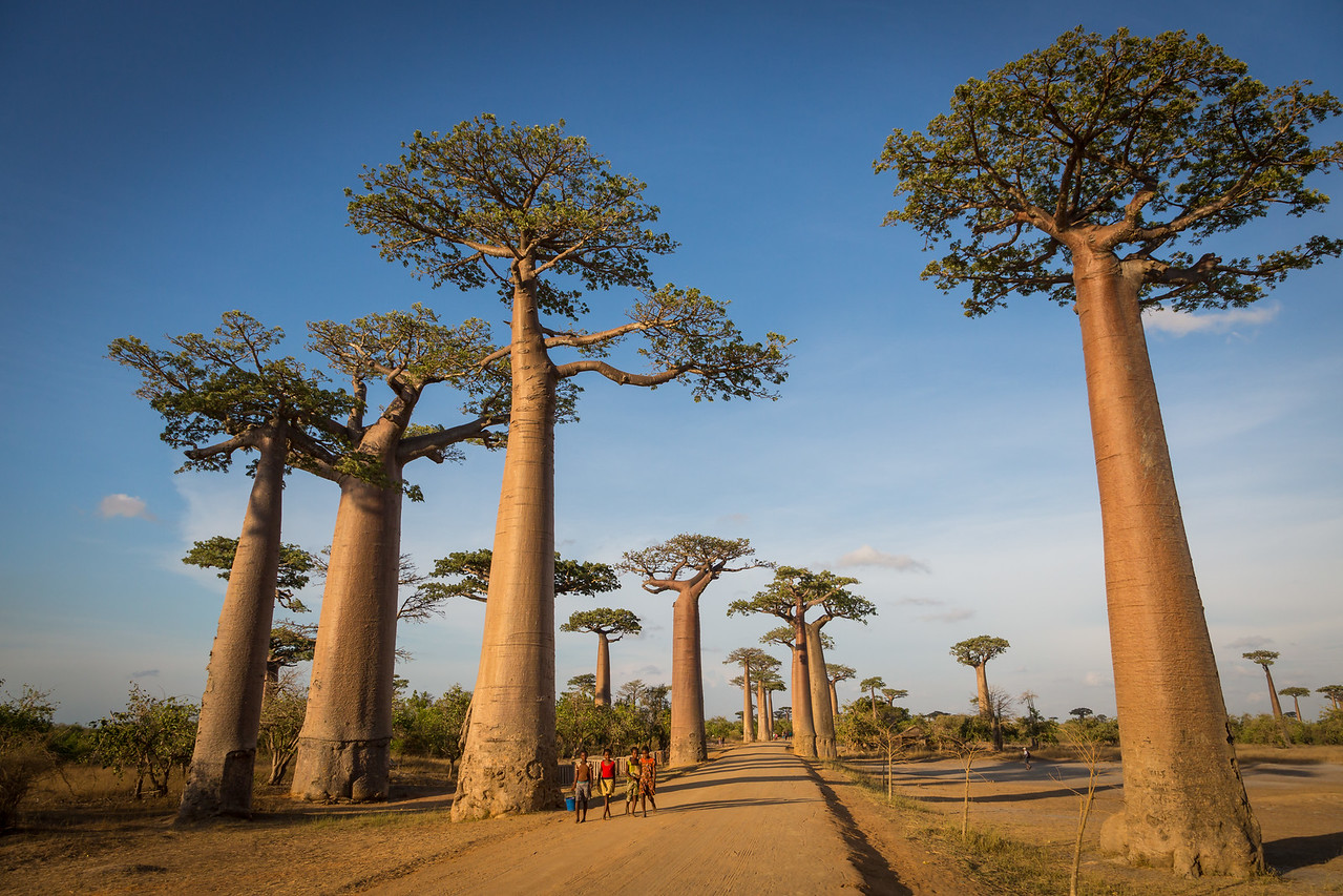 In our small plane we flew to Morondava and drove an hour on bumpy dirt roads to reach this spot called the Avenue of the Baobabs, an iconic scene for photographers.
