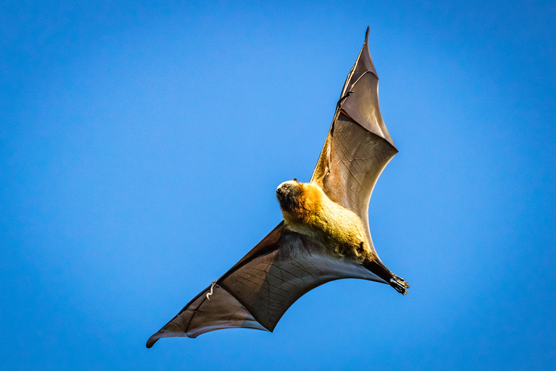 Bats move quickly. I was happy to catch one in flight after many attempts.