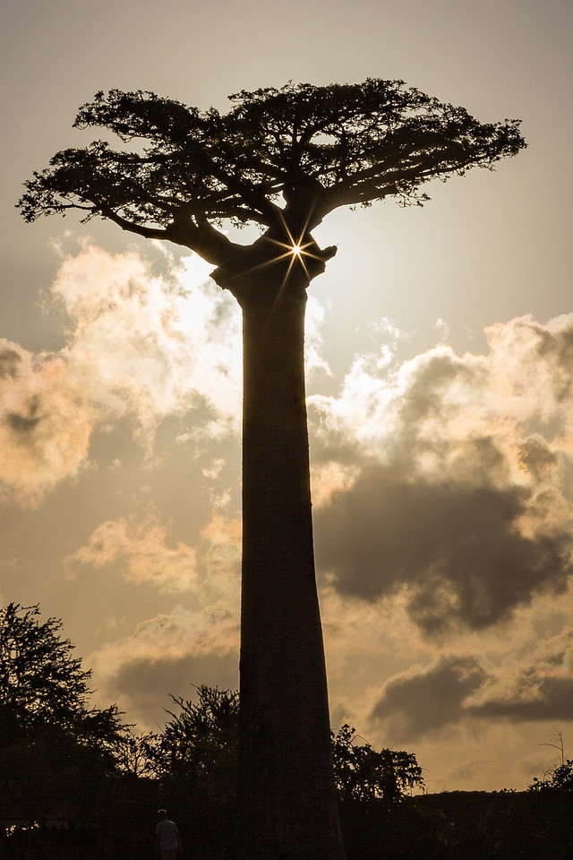 Baobabs grow to a height of nearly 100 feet. Here I captured the sun peeking through two branches.