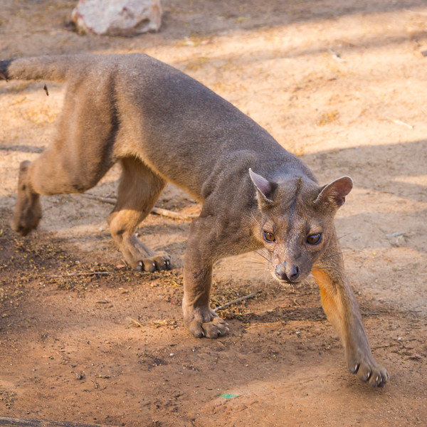 This is a fossa, a cat-like carnivours animal unique to Madagascar.