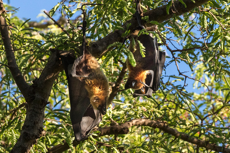 These are large bats, called flying foxes, because  their faces resemble a fox. They are endemic to Madagascar.