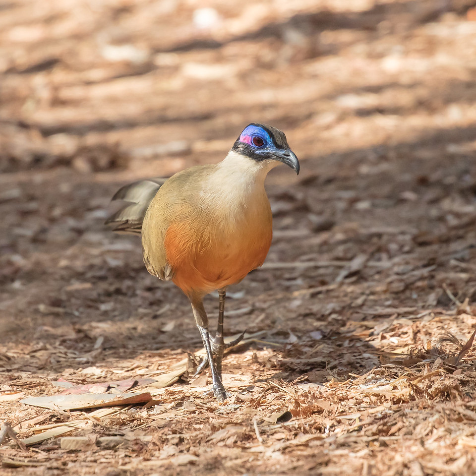 And this is a coquerel's coua, a bird that prefers the ground over tall trees.